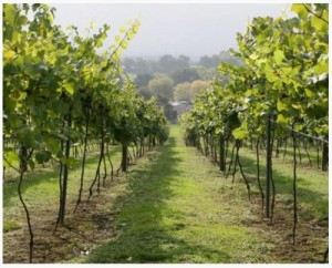 Vineyard Tour and Wine Tasting
