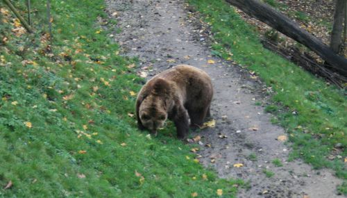 Brown Bear in Bern